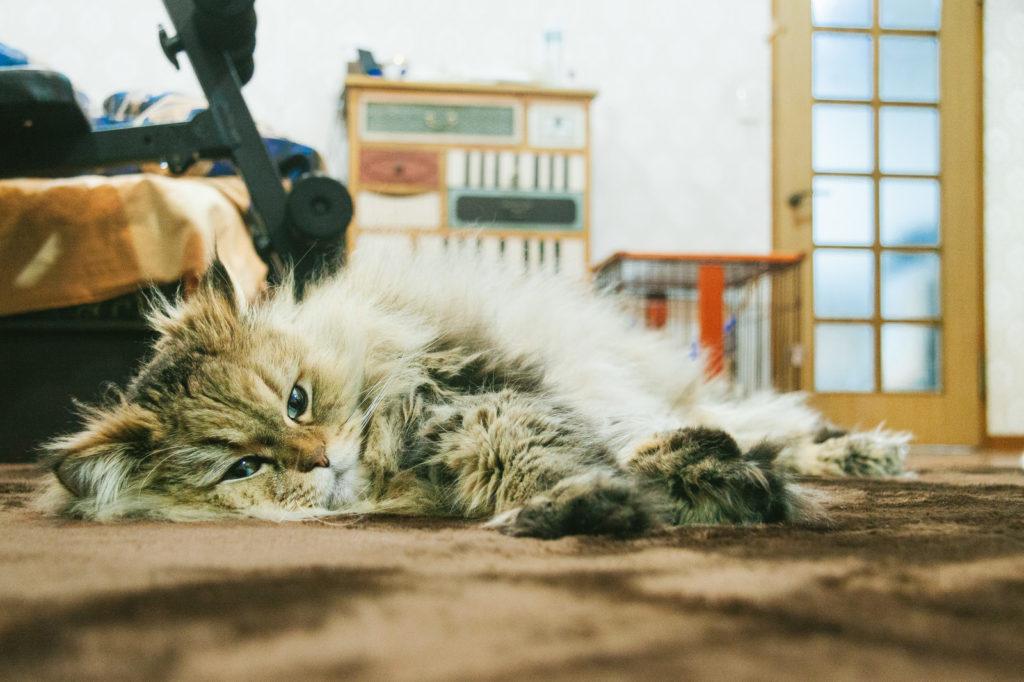 家でくつろぐネコ